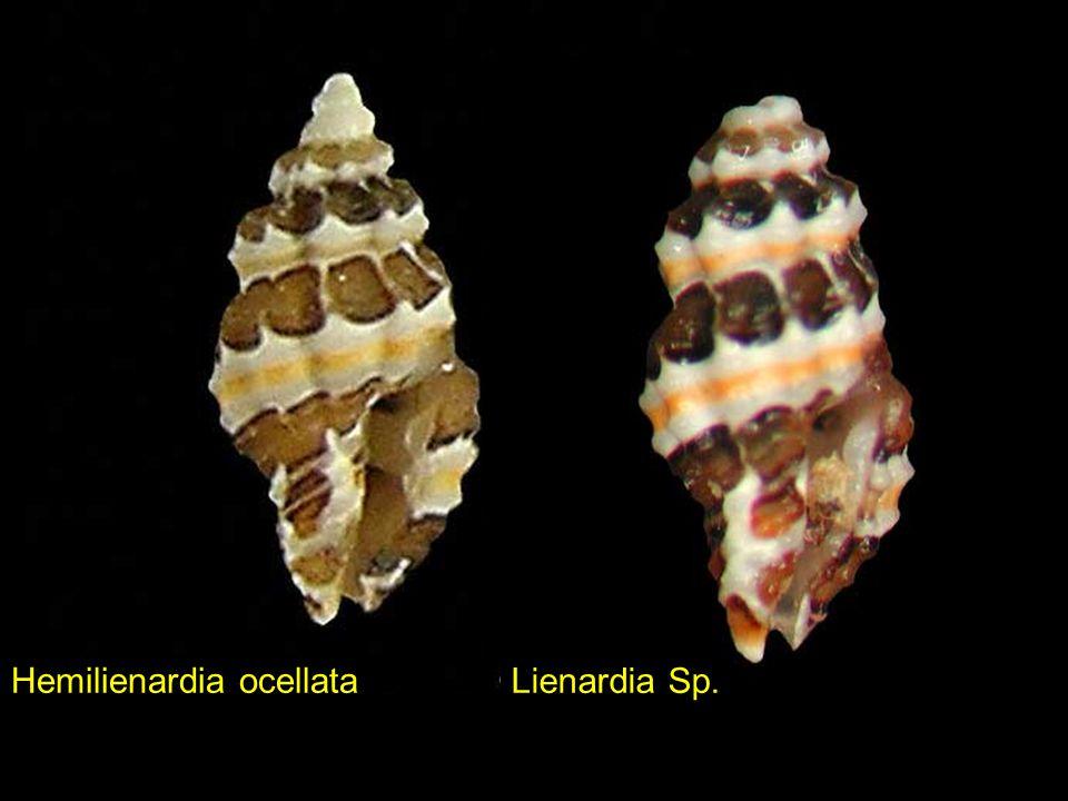 Hemilienardia ocellata