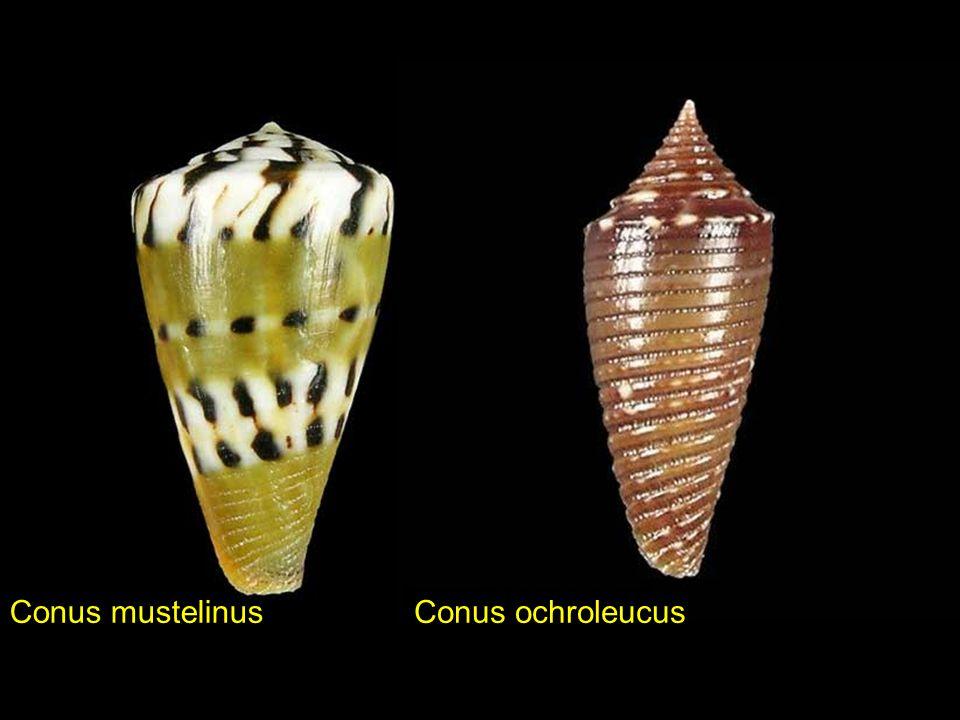 Conus mustelinus Conus ochroleucus