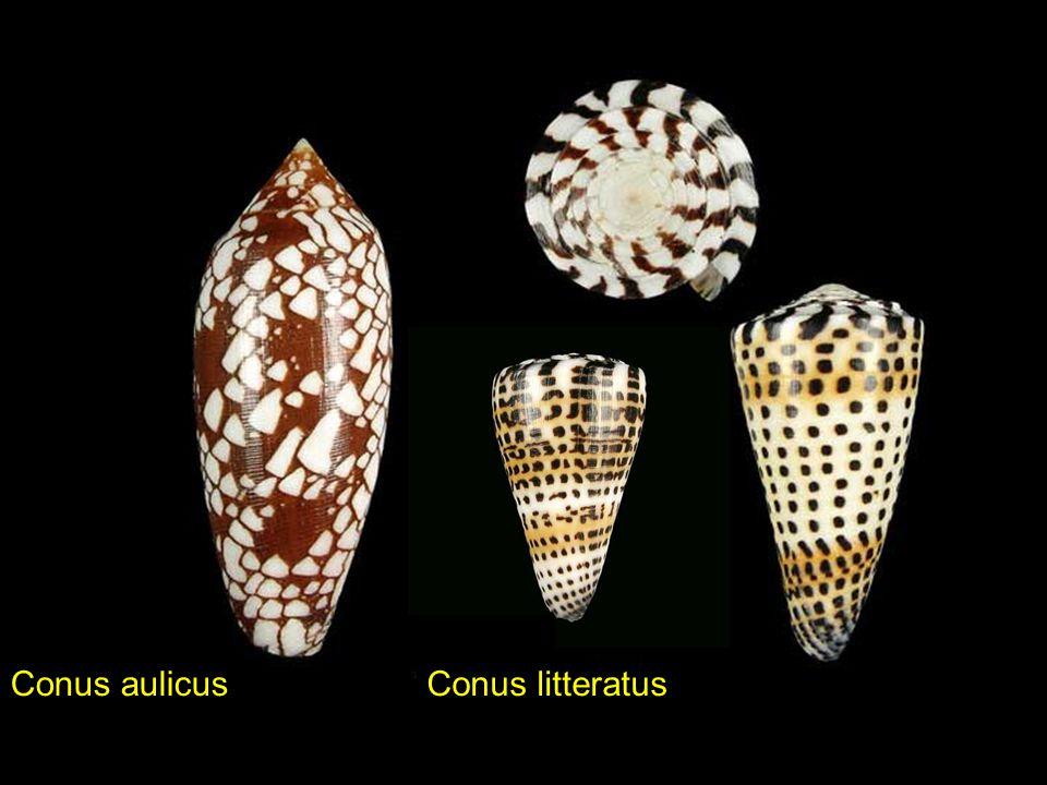 Conus aulicus Conus litteratus