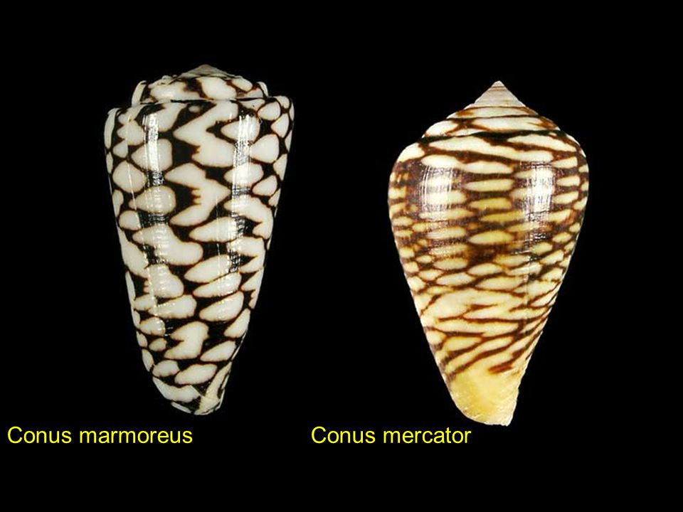 Conus marmoreus Conus mercator