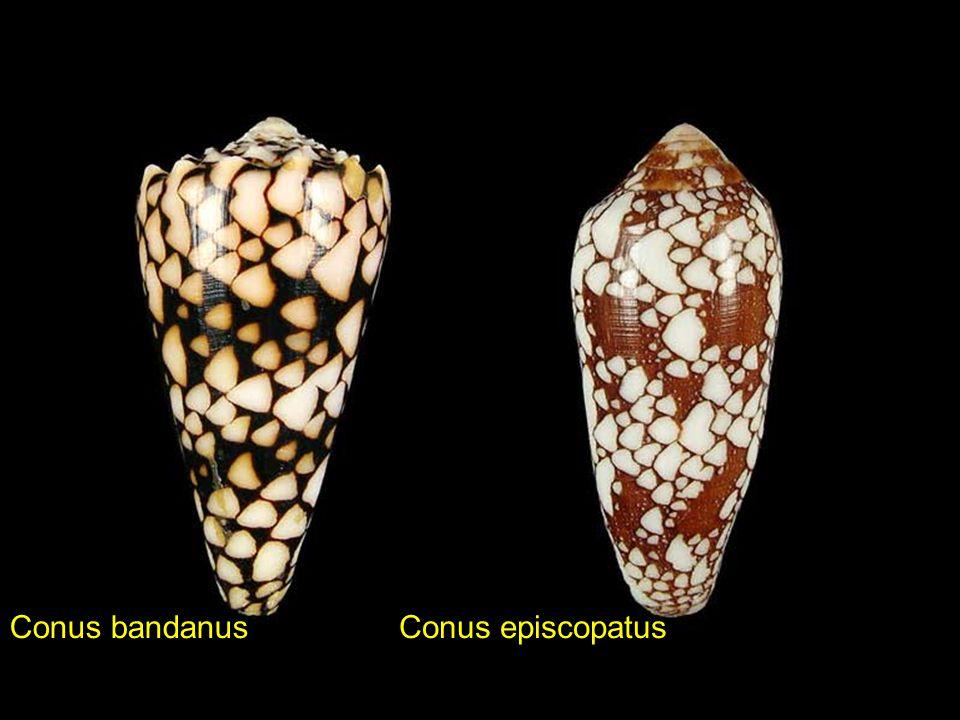 Conus bandanus Conus episcopatus