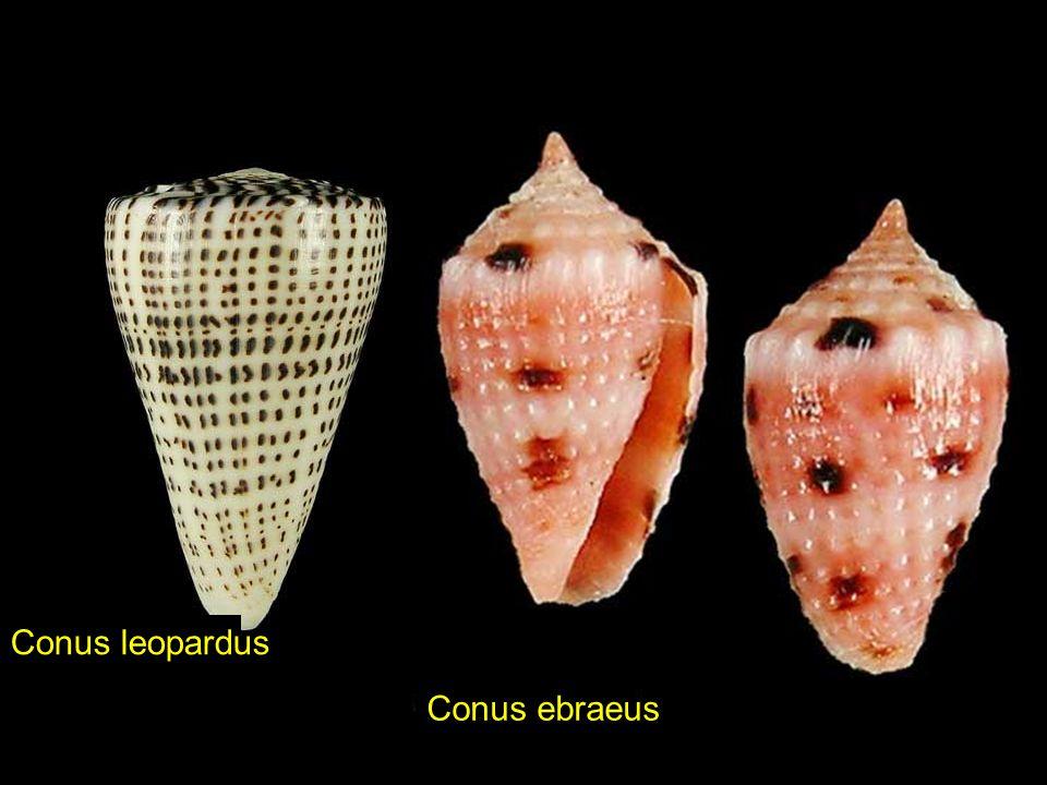 Conus leopardus Conus ebraeus