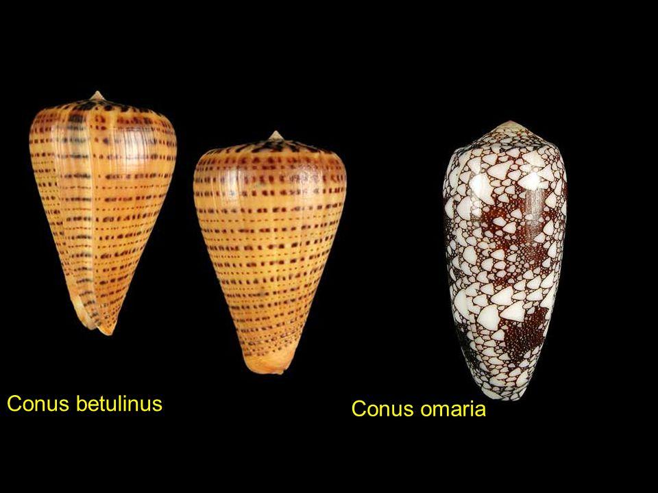Conus betulinus Conus omaria