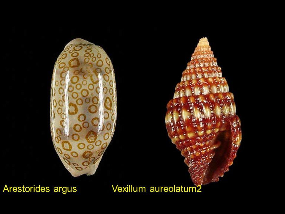 Arestorides argus Vexillum aureolatum2