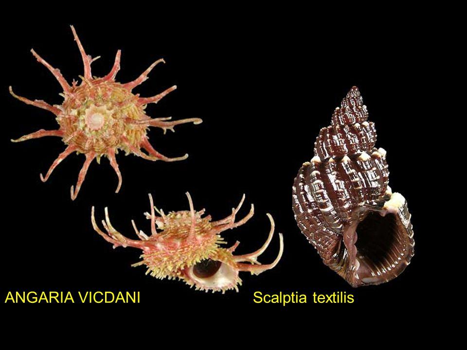 ANGARIA VICDANI Scalptia textilis
