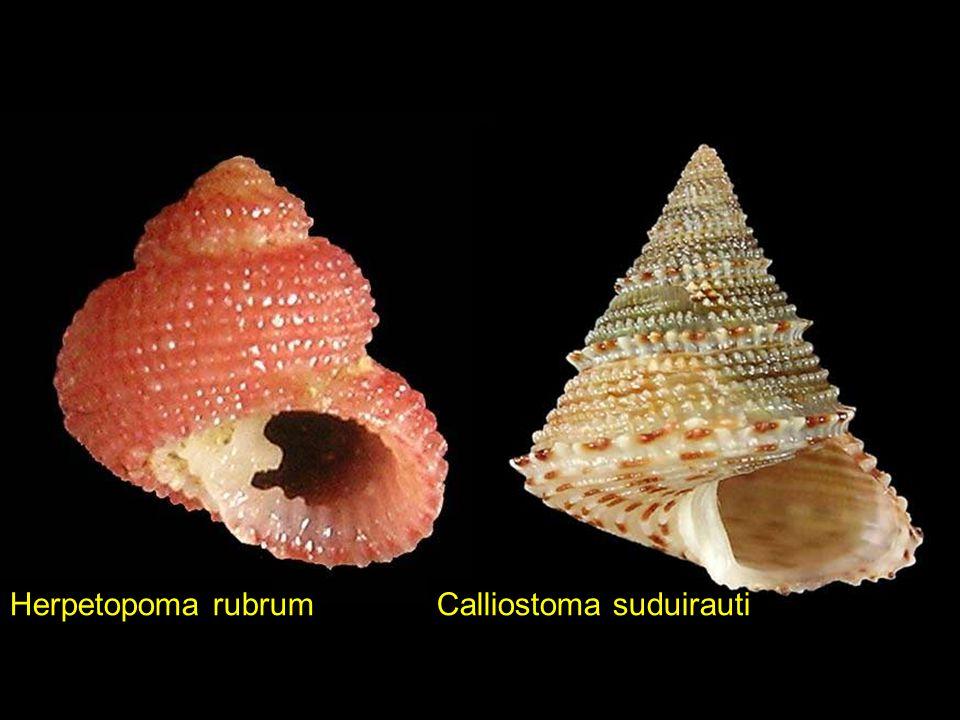 Herpetopoma rubrum Calliostoma suduirauti