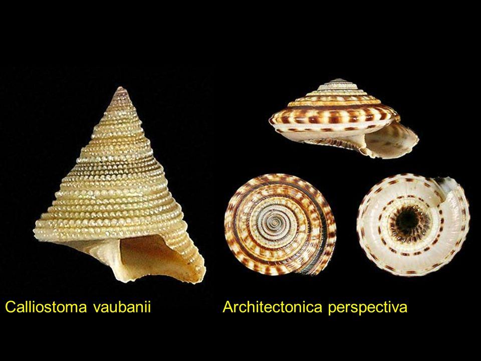 Calliostoma vaubanii Architectonica perspectiva