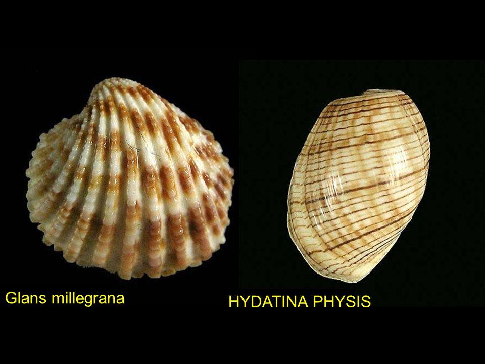 Glans millegrana HYDATINA PHYSIS