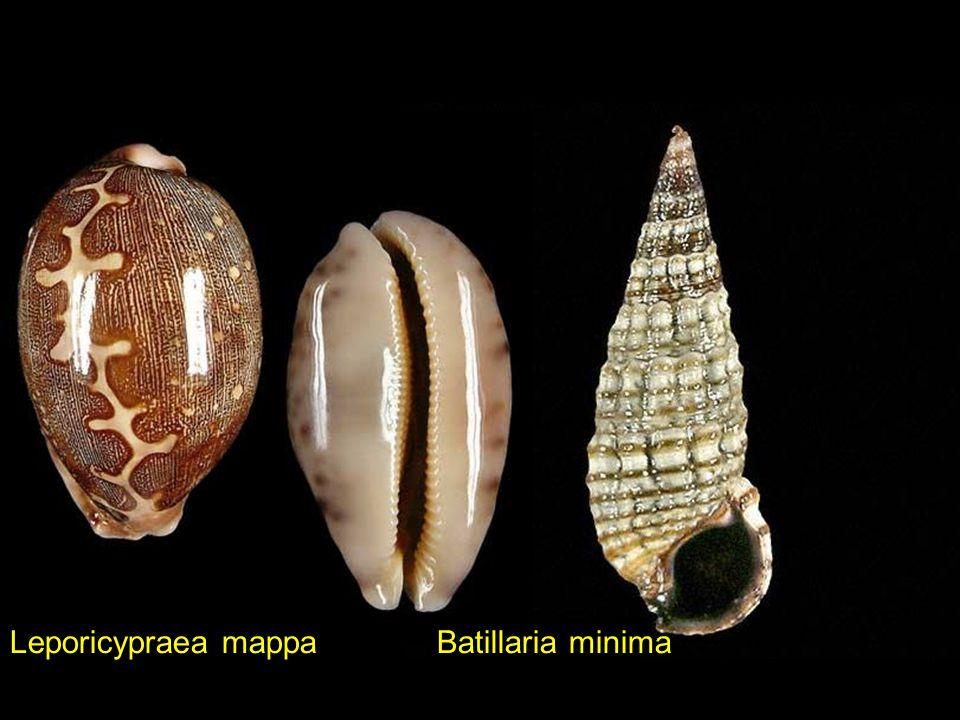 Leporicypraea mappa Batillaria minima