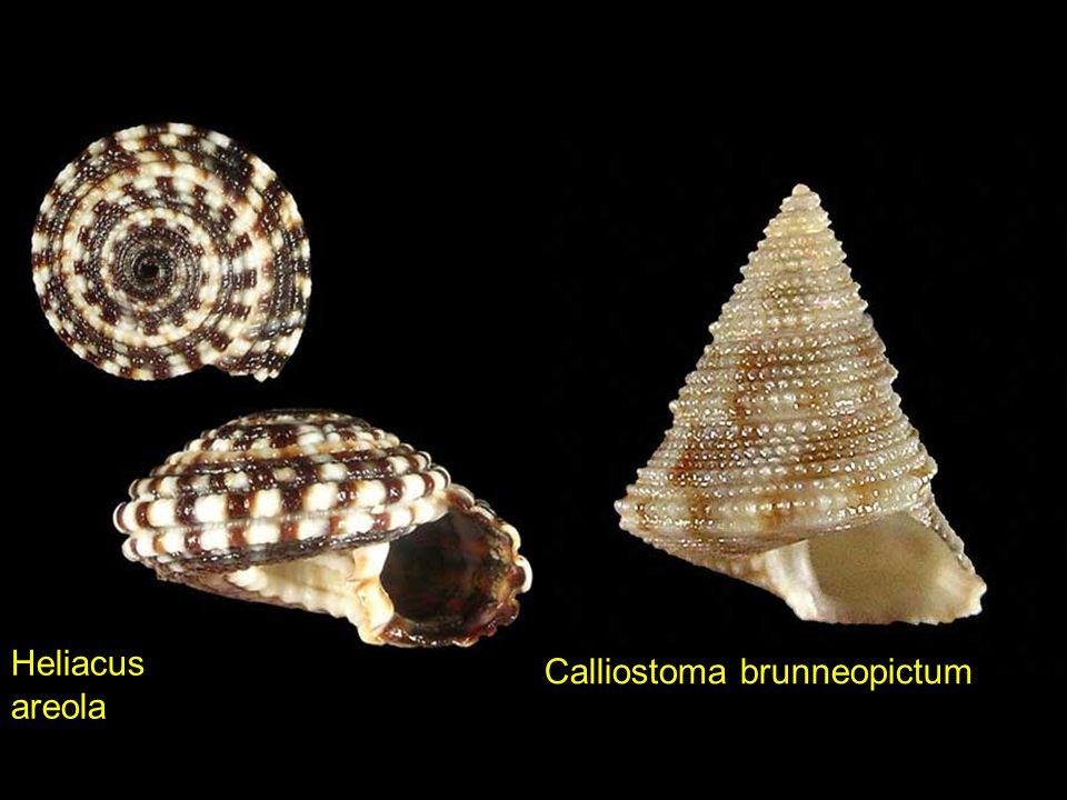 Heliacus areola Calliostoma brunneopictum