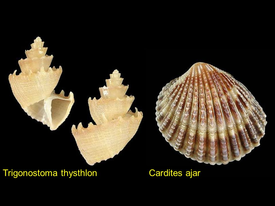 Trigonostoma thysthlon