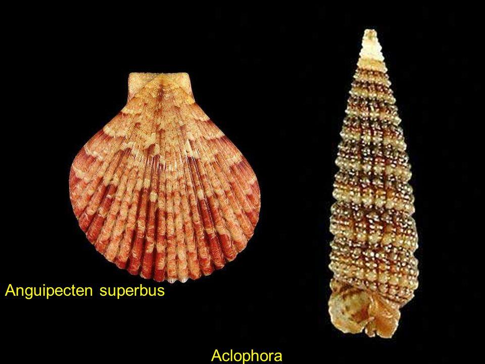 Anguipecten superbus Aclophora xystica