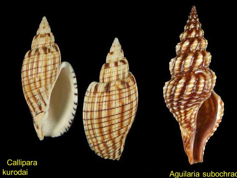 Callipara kurodai Aguilaria subochracea
