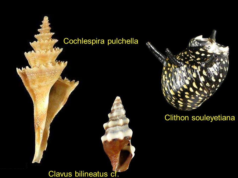 Cochlespira pulchella
