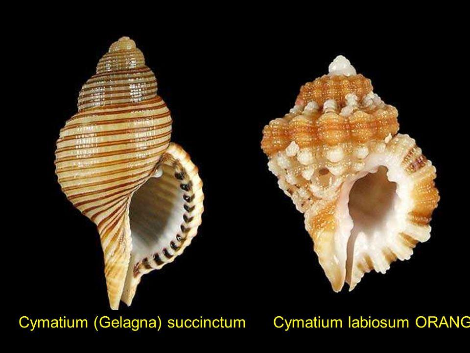 Cymatium (Gelagna) succinctum