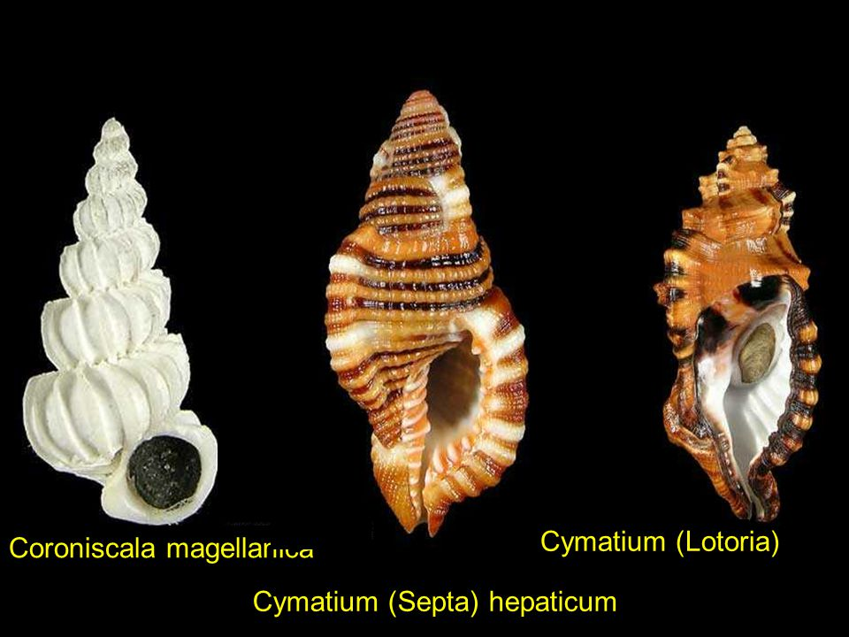Cymatium (Lotoria) Coroniscala magellanica Cymatium (Septa) hepaticum