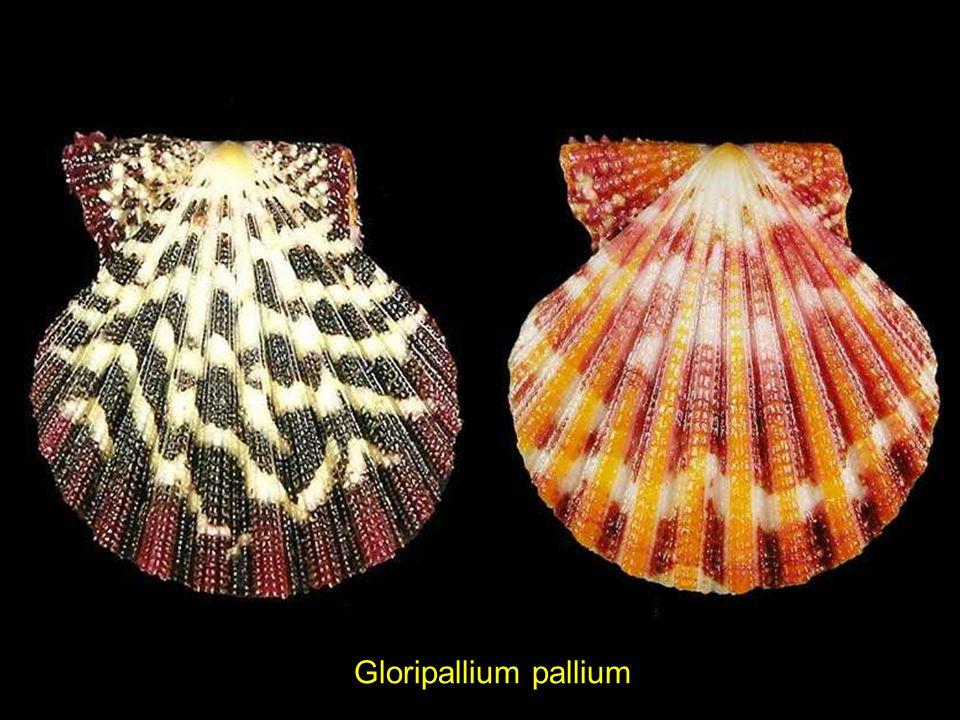 Gloripallium pallium