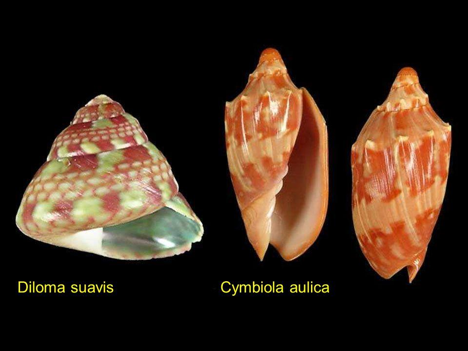 Diloma suavis Cymbiola aulica