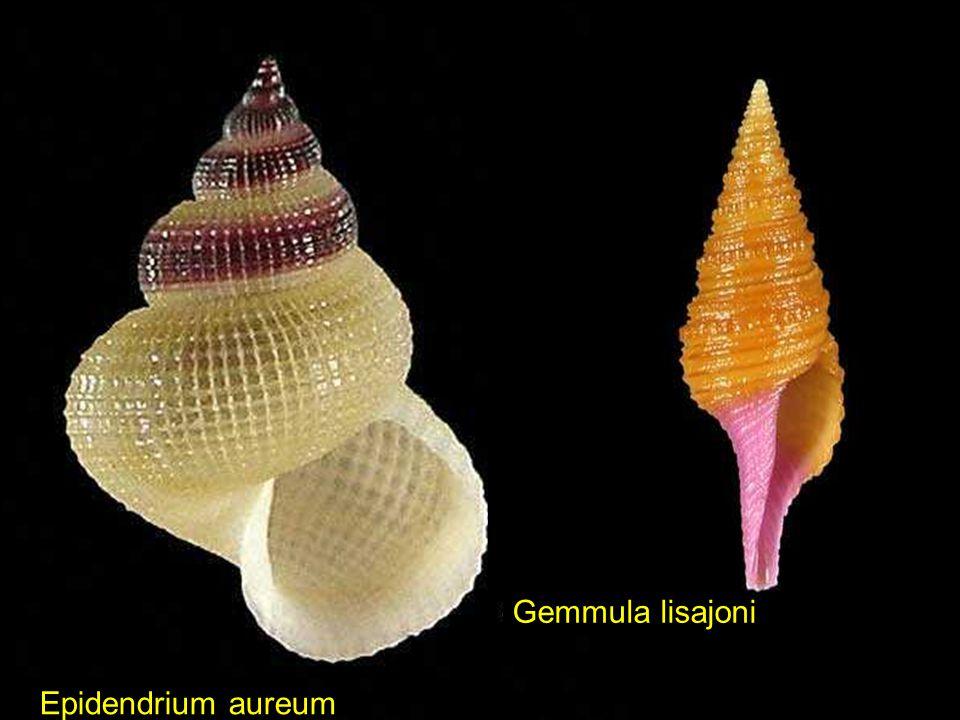 Gemmula lisajoni Epidendrium aureum