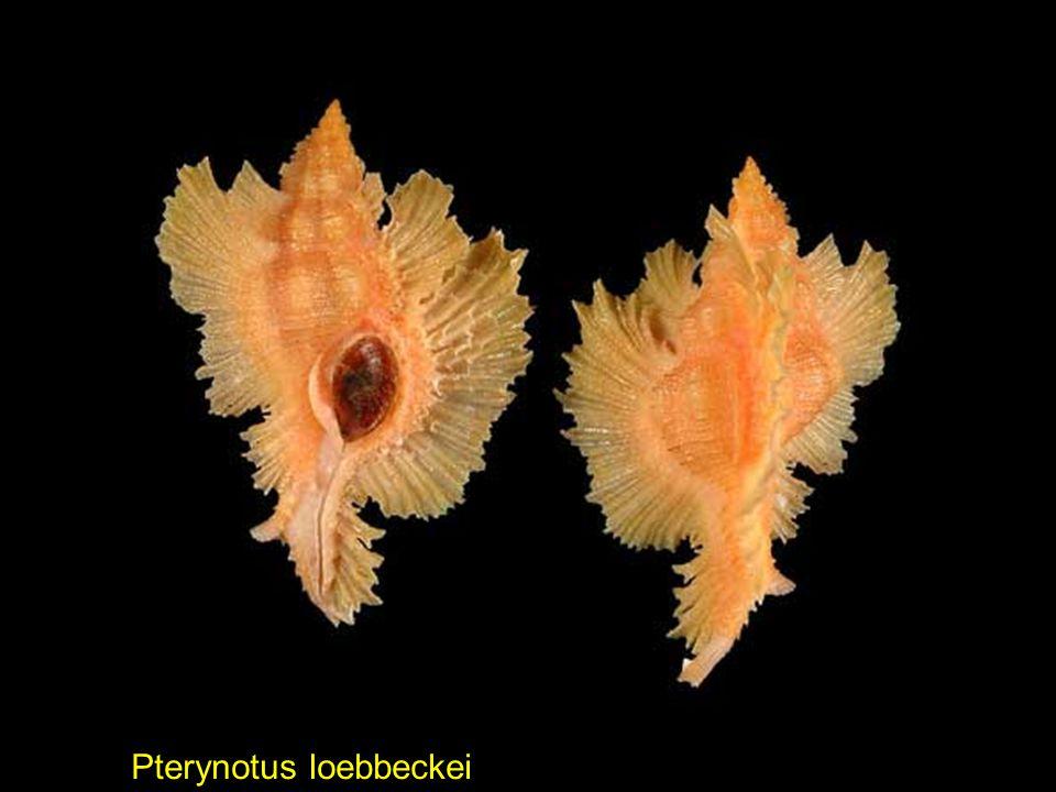 Pterynotus loebbeckei