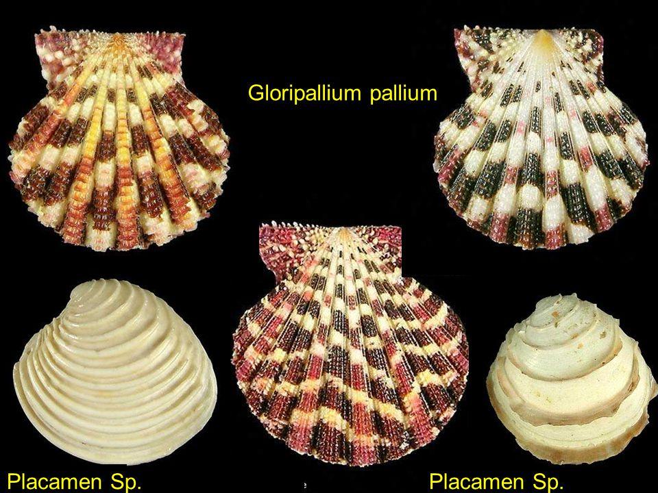 Gloripallium pallium Placamen Sp. Placamen Sp.