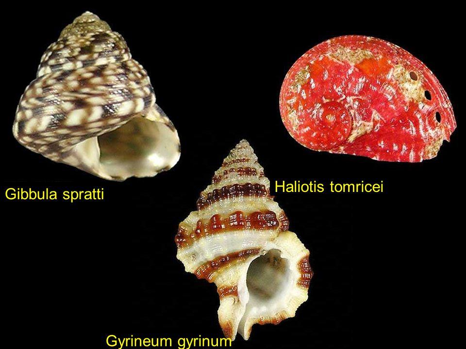 Haliotis tomricei Gibbula spratti Gyrineum gyrinum