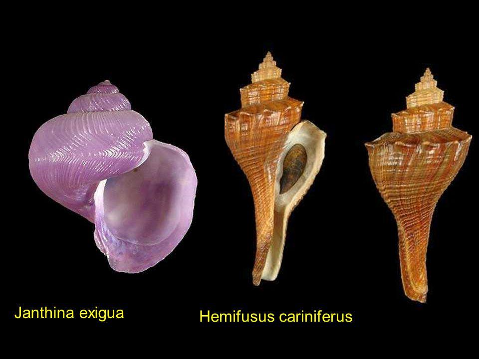 Janthina exigua Hemifusus cariniferus