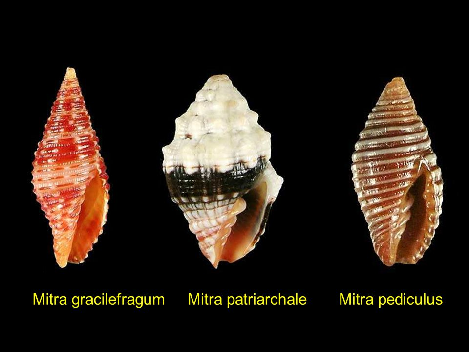 Mitra gracilefragum Mitra patriarchale Mitra pediculus