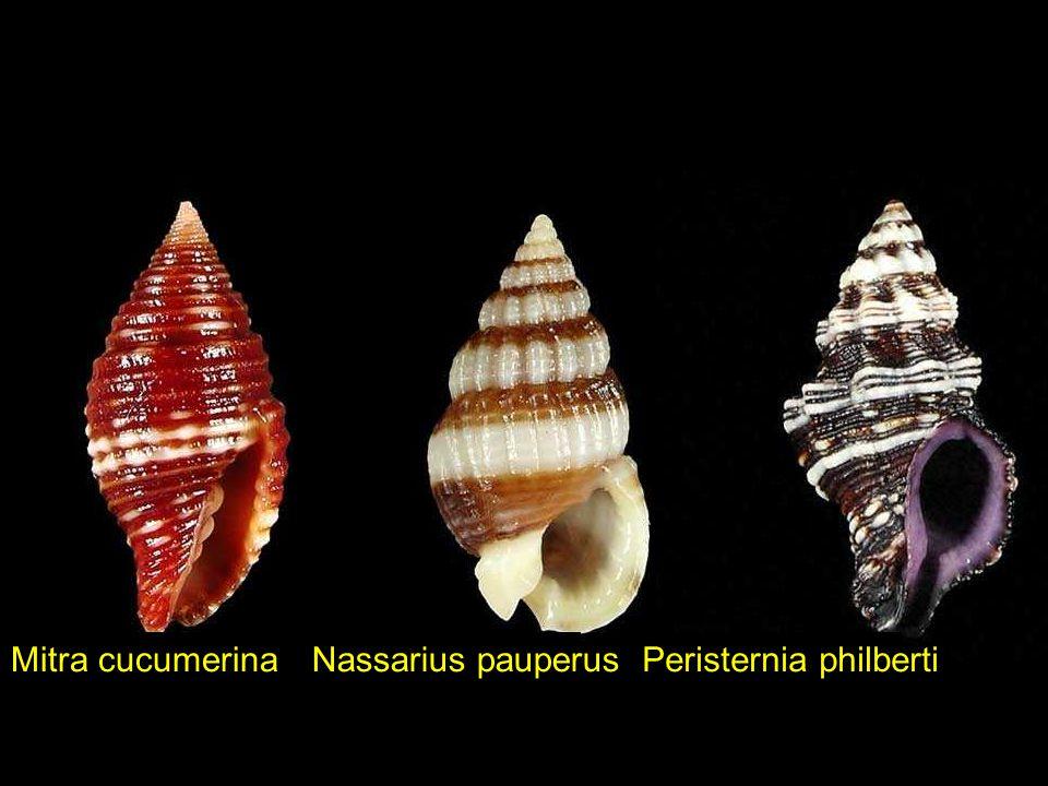 Mitra cucumerina Nassarius pauperus Peristernia philberti