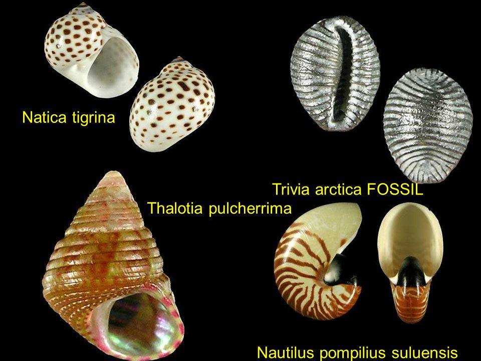 Natica tigrina Trivia arctica FOSSIL Thalotia pulcherrima Nautilus pompilius suluensis