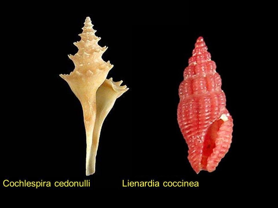Cochlespira cedonulli