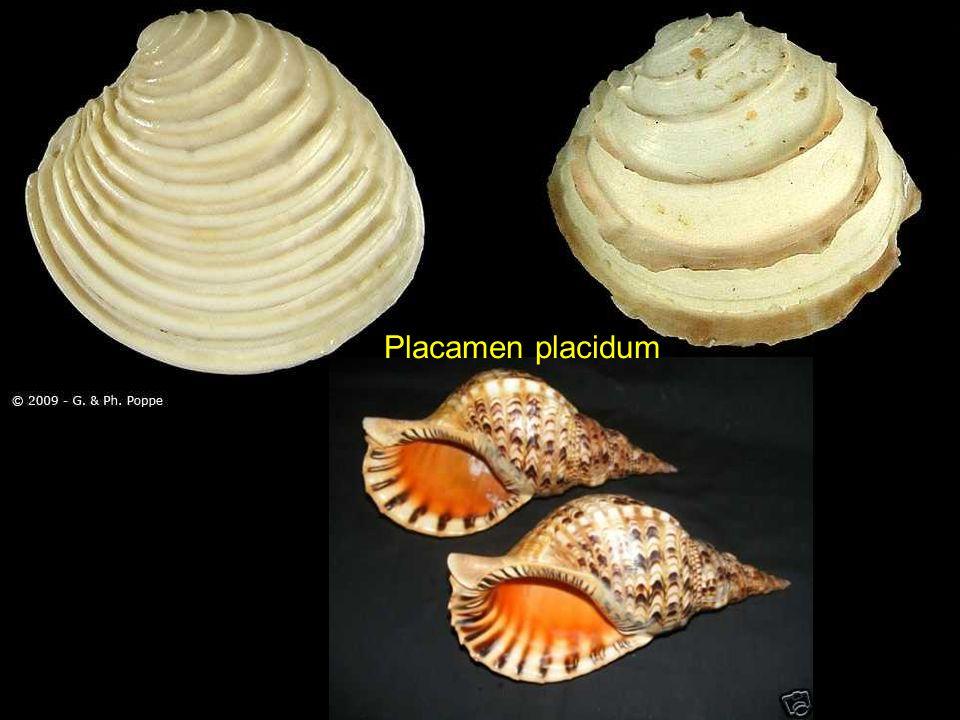 Placamen placidum
