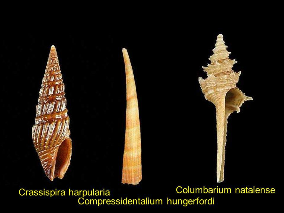 Columbarium natalense