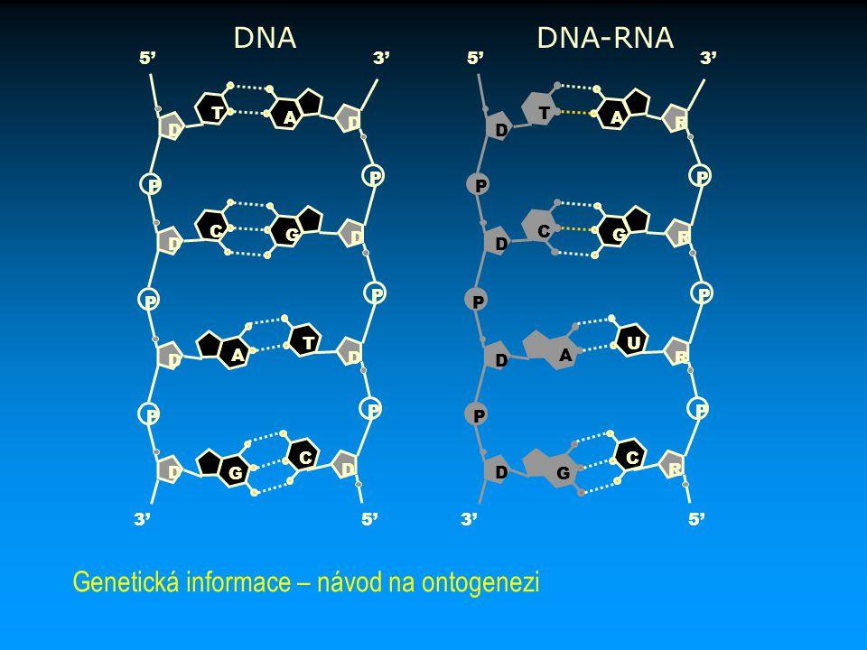 Genetická informace – návod na ontogenezi
