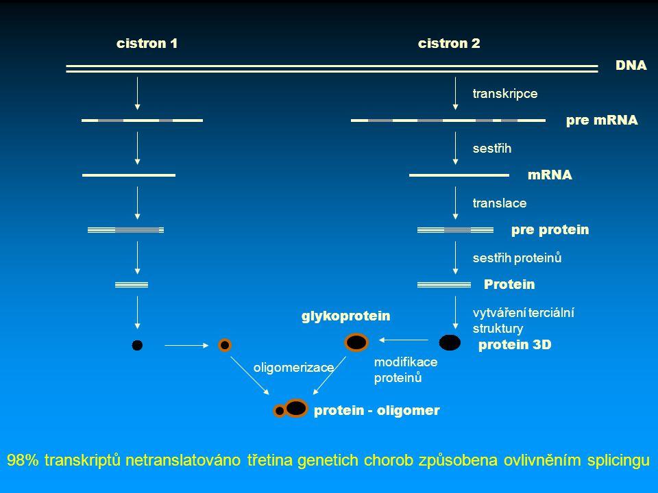 cistron 1 cistron 2. DNA. transkripce. pre mRNA. sestřih. mRNA. translace. pre protein. sestřih proteinů.