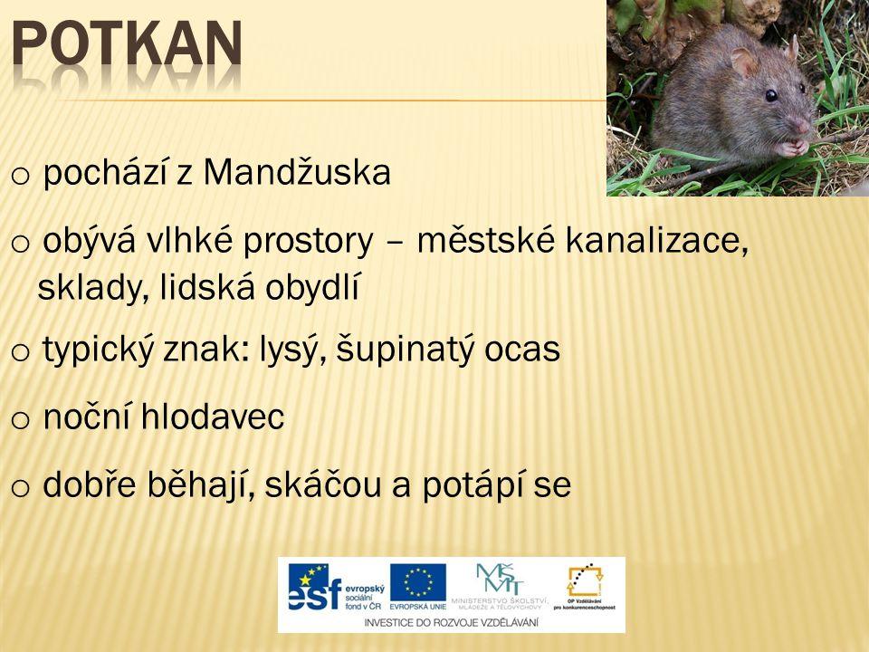 Potkan pochází z Mandžuska obývá vlhké prostory – městské kanalizace,