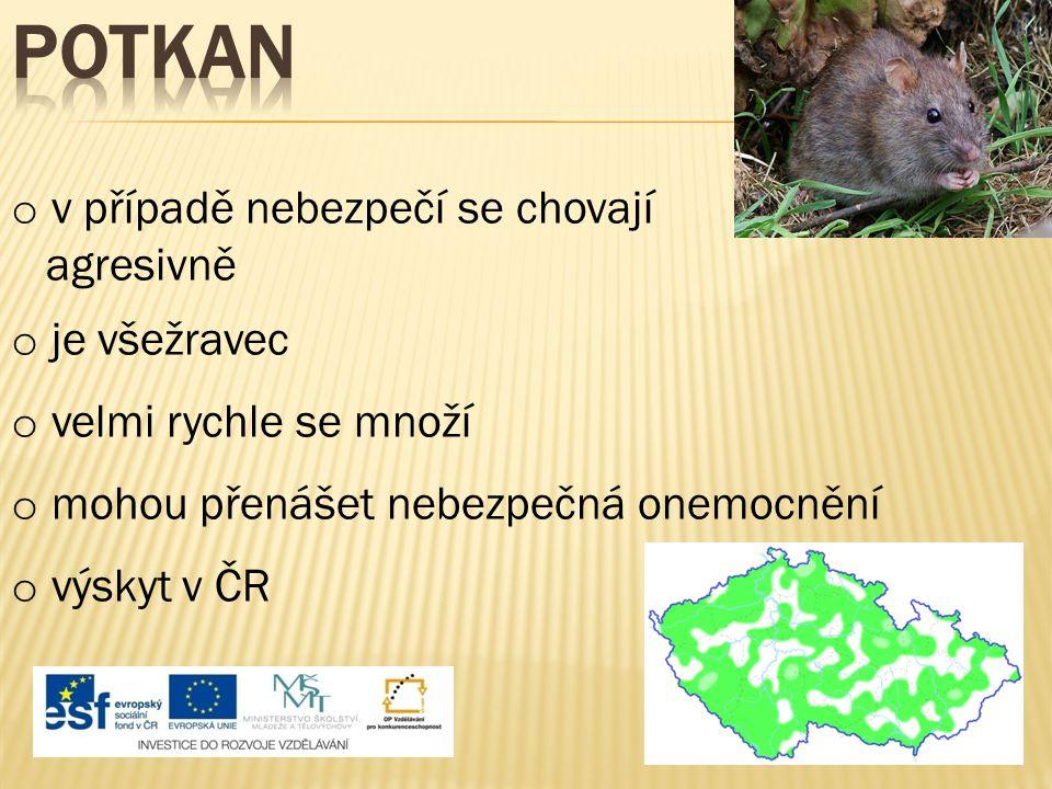 Potkan v případě nebezpečí se chovají agresivně je všežravec
