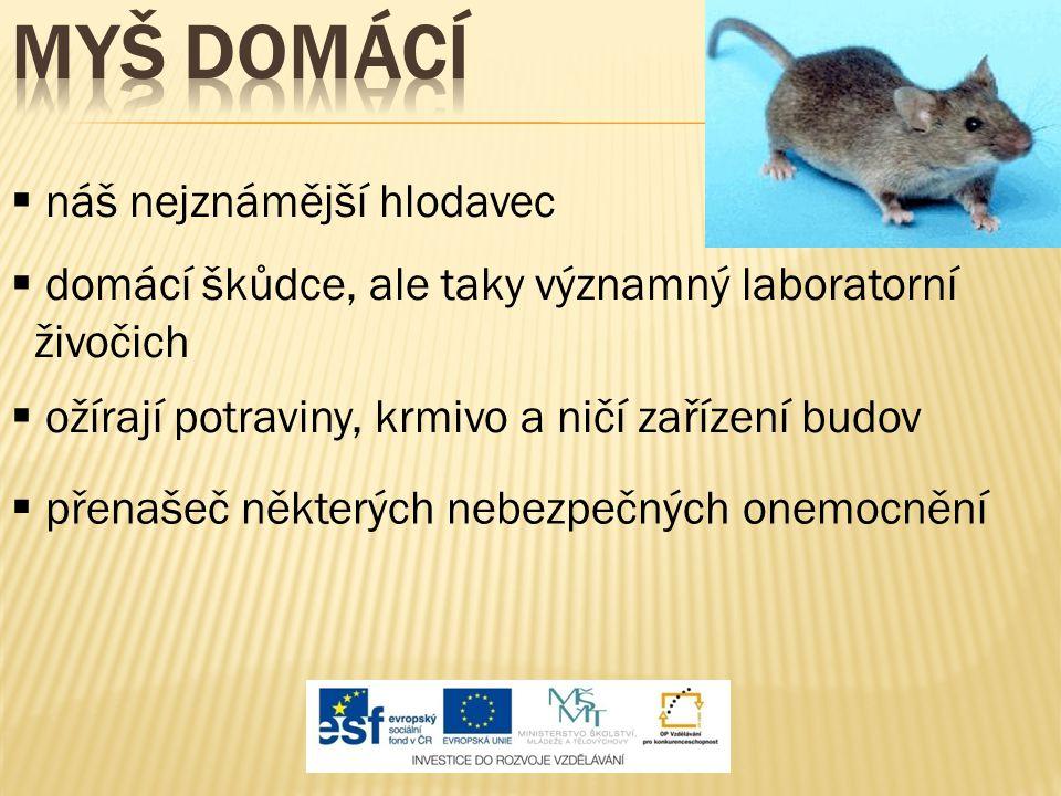 Myš domácí náš nejznámější hlodavec