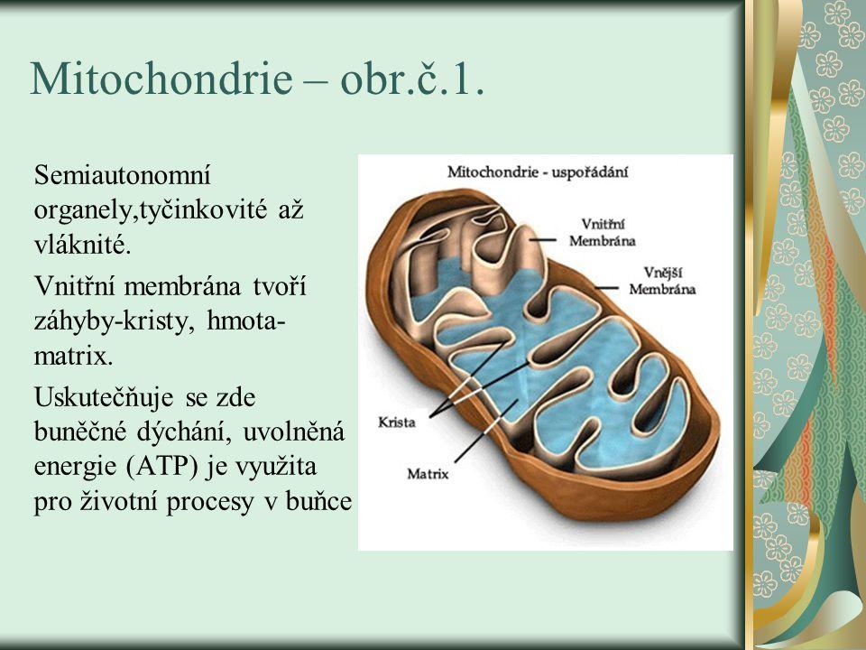 Mitochondrie – obr.č.1. Semiautonomní organely,tyčinkovité až vláknité. Vnitřní membrána tvoří záhyby-kristy, hmota- matrix.