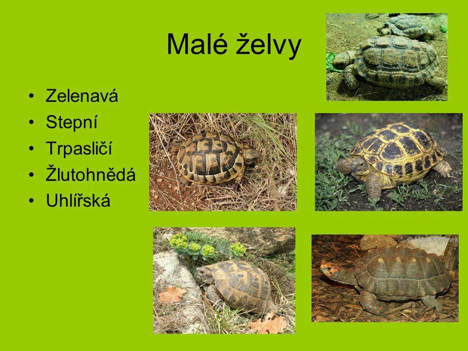 Malé želvy Zelenavá Stepní Trpasličí Žlutohnědá Uhlířská