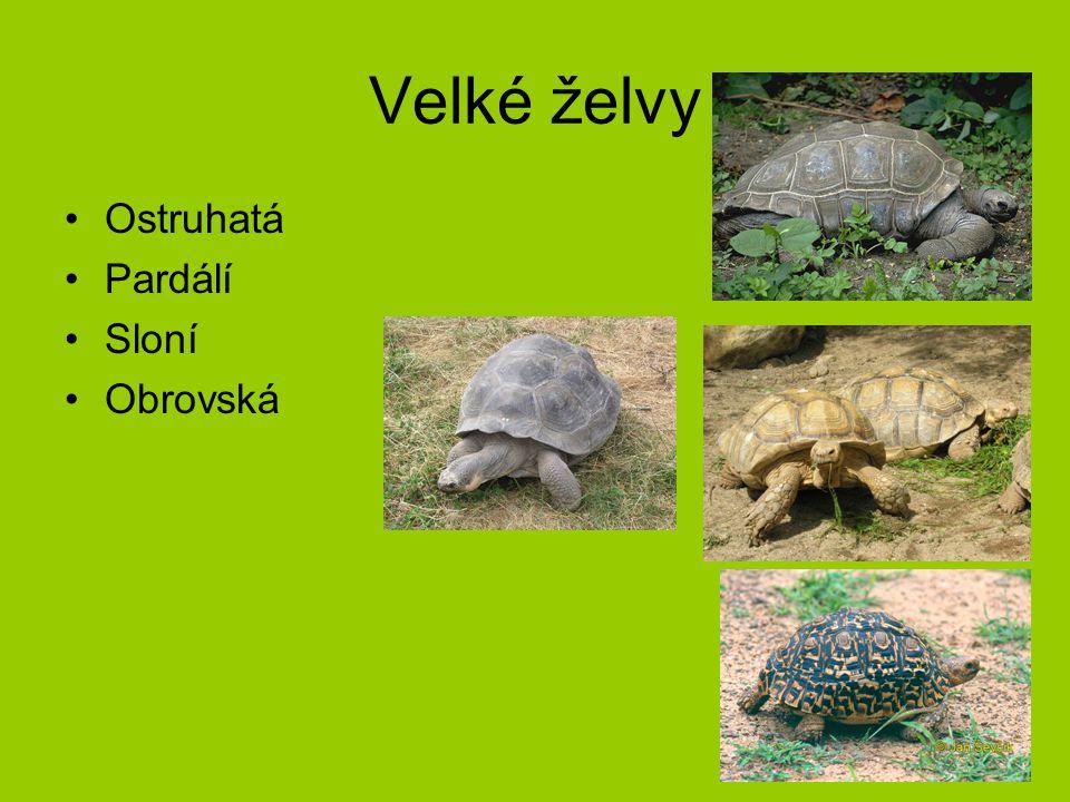 Velké želvy Ostruhatá Pardálí Sloní Obrovská