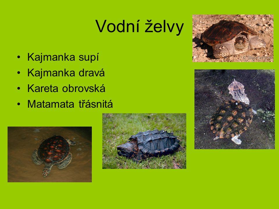 Vodní želvy Kajmanka supí Kajmanka dravá Kareta obrovská