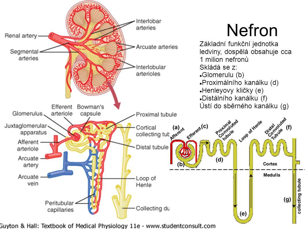 Nefron Základní funkční jednotka ledviny, dospělá obsahuje cca 1 milion nefronů. Skládá se z: Glomerulu (b)