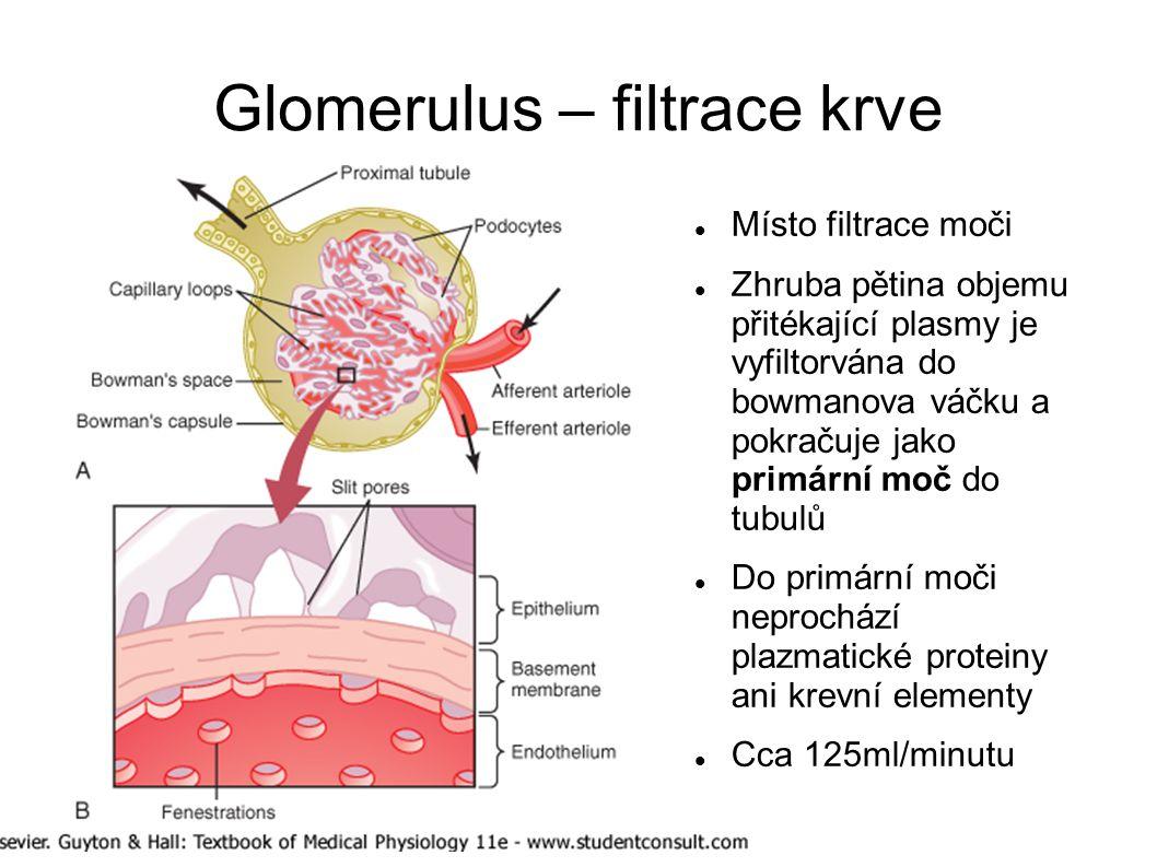 Glomerulus – filtrace krve