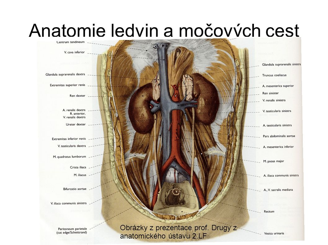 Anatomie ledvin a močových cest