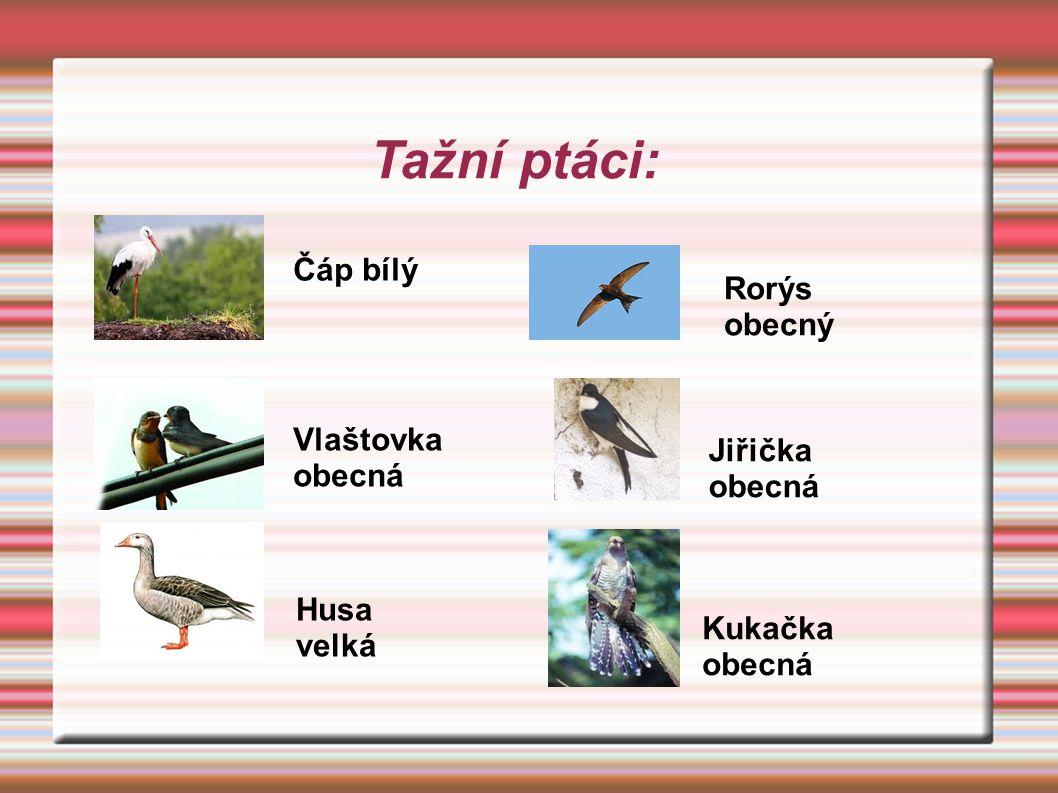Tažní ptáci: Čáp bílý Rorýs obecný Vlaštovka obecná Jiřička obecná