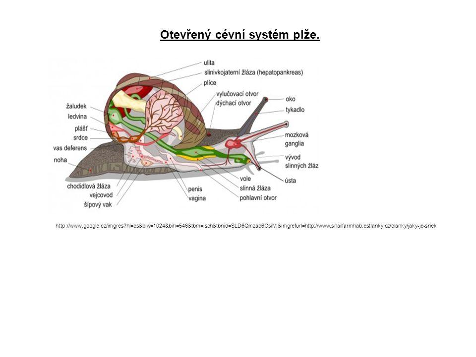 Otevřený cévní systém plže.
