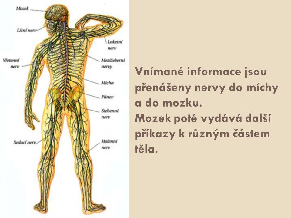 Vnímané informace jsou přenášeny nervy do míchy a do mozku