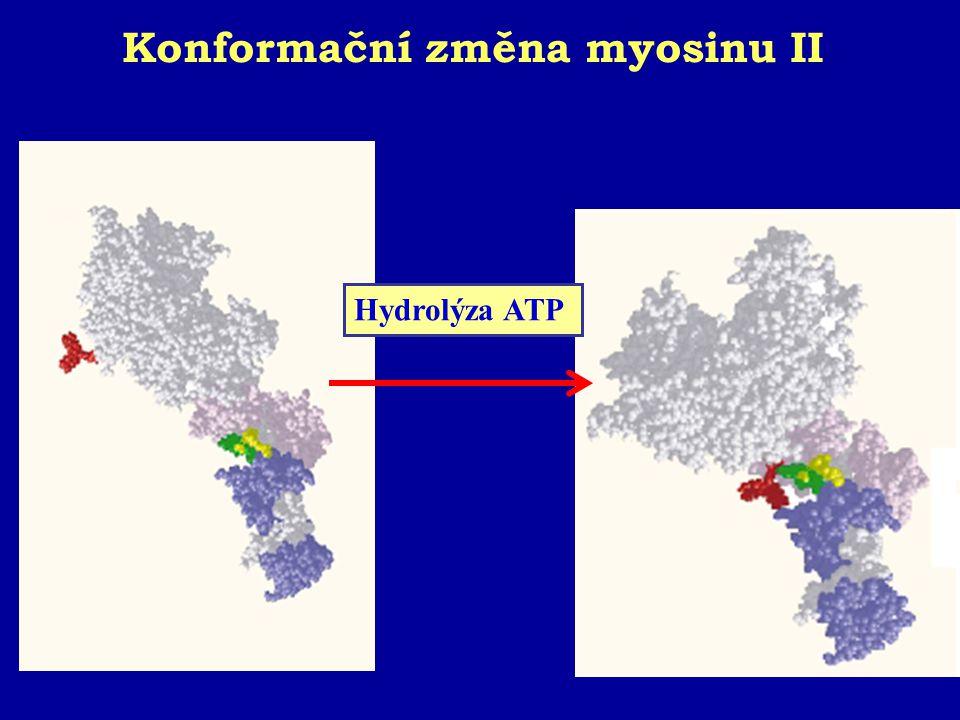 Konformační změna myosinu II
