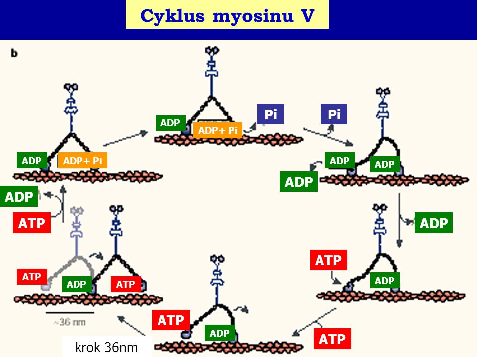 Cyklus myosinu V Pi Pi ADP ADP ATP ADP ATP ATP ATP krok 36nm ADP